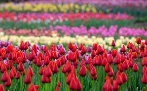 Picture field, flowers, spring, garden, tulips, red, buds, flowerbed, colorful, a lot, the ranks