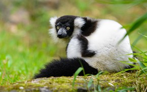 Picture look, pose, green, background, lemur, sitting