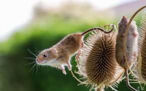 Picture background, mouse, Thistle