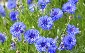 Picture flowers, nature, buds, cornflowers