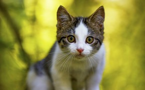Picture cat, look, face, nature, pose, kitty, portrait, green background, bokeh, spotted, grey with white
