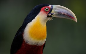 Picture background, bird, beak, Toucan, The red-breasted Toucan