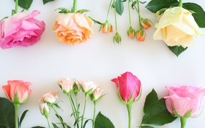 Picture flowers, background, roses, buds, bokeh