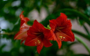 Picture flowers, red, Amaryllis