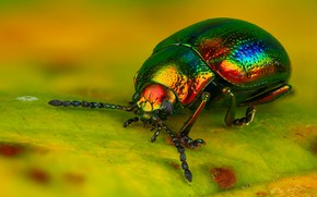 Picture macro, yellow, bright, green, background, leaf, beetle, handsome, brilliant, rainbow, nasekomoe