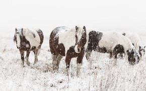 Picture winter, field, look, face, snow, nature, horse, horse, horses, horse, pasture, pony, Blizzard, snowfall, the …