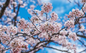 Picture the sky, flowers, branches, blue, blur, spring, Sakura, flowering, a lot, blue background, inflorescence, bokeh