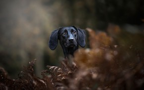 Picture face, portrait, dog, fern, bokeh, Dachshund