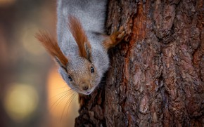 Picture look, tree, protein, muzzle, bark, pet, Alexander Makeev