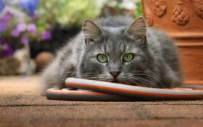 Picture cat, cat, look, face, garden, grey, hose, green eyes, pot