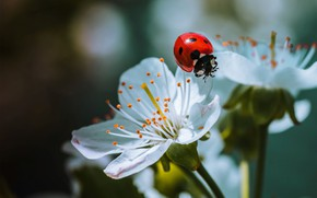 Picture macro, nature, ladybug, beetle, spring, flowers