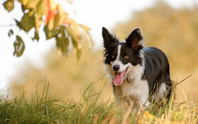 Picture language, grass, face, dog, The border collie