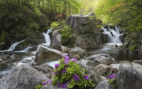 Picture forest, landscape, flowers, nature, stream, stones, waterfall, Korea, reserve, rhododendron, Azalea, jae youn Ryu