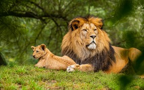 Picture greens, look, face, nature, Leo, baby, pair, cub, lion, son, dad, bokeh