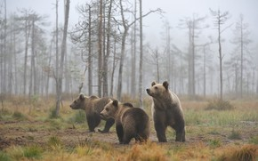 Picture bear, morning, look, bears, brown, brown, Threesome, bears, bear, forest, pose, Trinity, fog, trees, three, …
