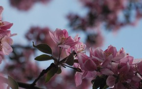 Picture flowers, spring, Magnolia
