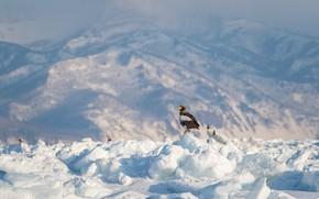 Picture winter, light, snow, mountains, bird, tops, ice, glacier, the snow, eagle, snow, predatory
