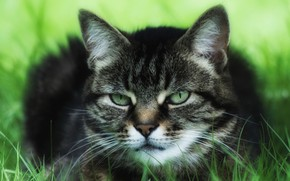 Picture cat, grass, cat, nature, grey, background, portrait, treatment, striped, green-eyed