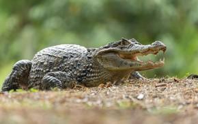 Picture nature, crocodile, reptile