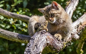 Picture cat, cat, look, branches, pose, grey, tree, lies, striped, bokeh, wild, forest, wildcat, wild cat