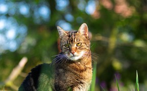 Picture cat, grass, cat, face, nature, grey, portrait, striped, bokeh