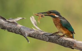 Picture background, bird, frog, branch, mining, Kingfisher, meal