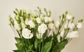 Picture flowers, background, white, white, beautiful, eustoma