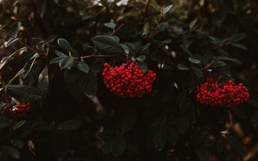 Picture autumn, leaves, branches, berries, the dark background, bright, fruit, red, Rowan, bunches, bunches of Rowan