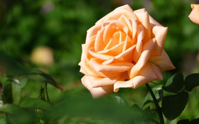 Picture greens, flower, leaves, background, rose, orange, petals, garden, Bud, one, green background, yellow, lush, solo