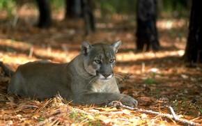 Picture forest, Puma, wild cat