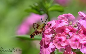 Picture macro, flowers, background, insect, moth