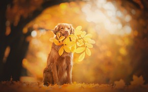 Wallpaper autumn, leaves, dog, branch, bokeh, Nova Scotia duck tolling Retriever