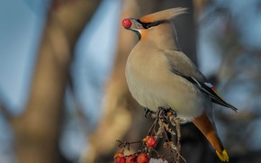 Picture branches, berries, background, bird, beak, fruit, the Waxwing, berry