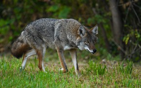 Picture forest, summer, grass, look, nature, pose, grey, wolf, walk, coyote