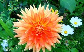 Picture flower, Dahlia, orange Dahlia