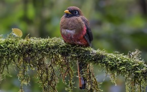 Picture bird, branch, female, masked trogon