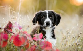 Picture autumn, look, leaves, nature, pose, background, black and white, portrait, dog, branch, baby, puppy, red, …