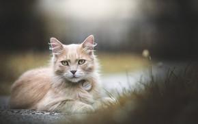 Picture cat, cat, look, bokeh
