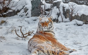 Picture winter, snow, wild cat, tigress, krasava