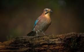Picture nature, bird, Ghiandaia