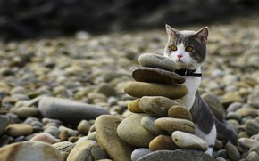 Picture cat, cat, look, pebbles, stones, shore, yellow eyes, hid