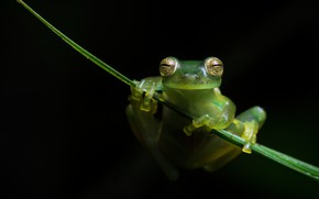 Picture look, macro, pose, leaf, frog, legs, black background, green, a blade of grass, hanging, treefrog