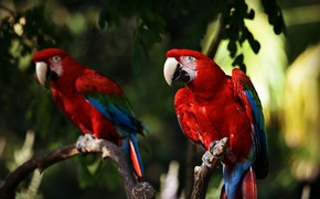 Picture leaves, birds, branches, the dark background, bird, blur, parrot, red, parrots, bokeh, Ara, two parrots