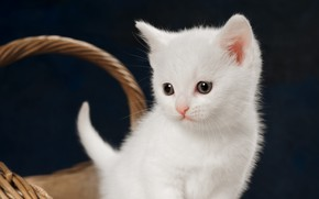 Picture cat, white, look, kitty, baby, kitty