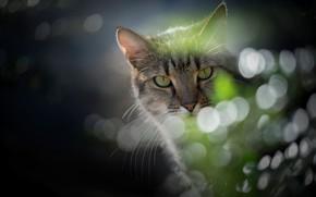 Picture cat, look, glare, portrait, muzzle, cat