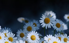 Picture drops, flowers, the dark background, chamomile, white