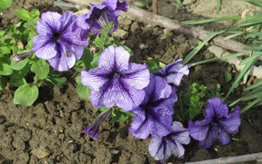 Picture flowers, flowerbed, 2018, petunias, Meduzanol ©
