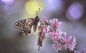 Picture macro, butterfly, nature, branch, lilac, bokeh, swallowtail