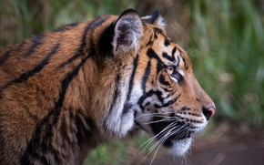 Picture look, face, nature, tiger, background, portrait, profile, handsome, bokeh