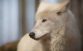 Picture white, look, face, background, wolf, portrait, handsome, Arctic